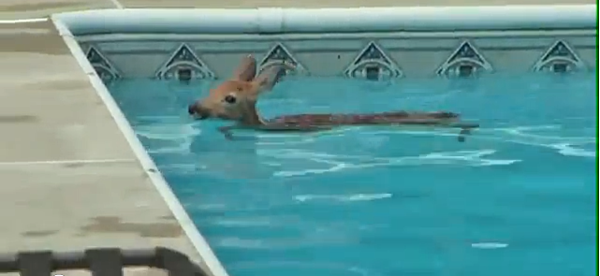 watch the baby deer that was trapped in the pool video