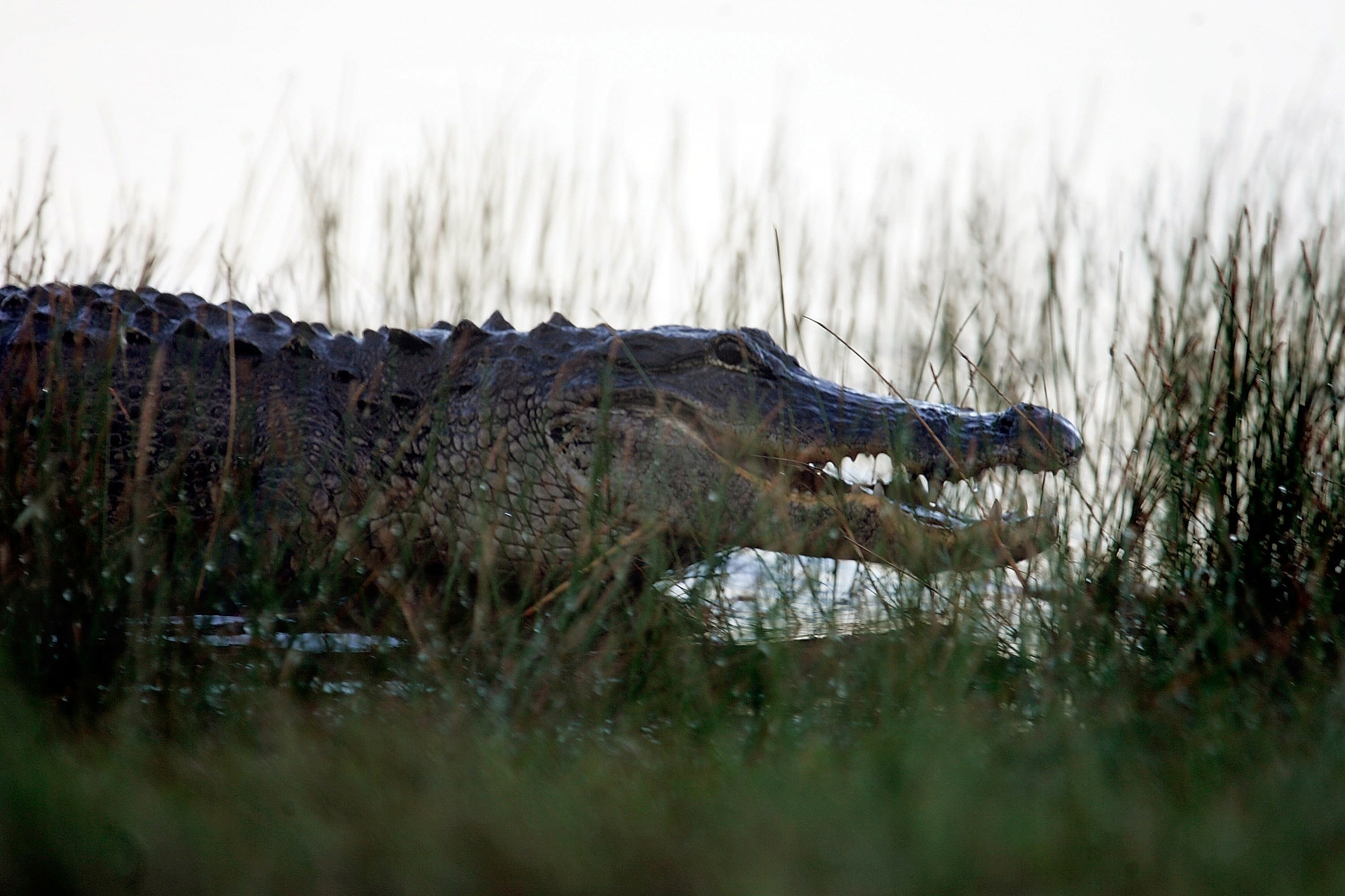 Huge Gator shuts down Caino Traffic in lake Charles (Getty Images)
